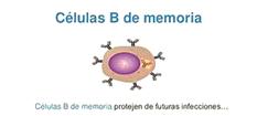 Células B